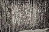 Aspen trees B&W